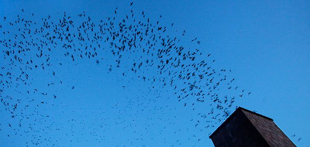 An evening field trip to see the Vaux's Swifts
