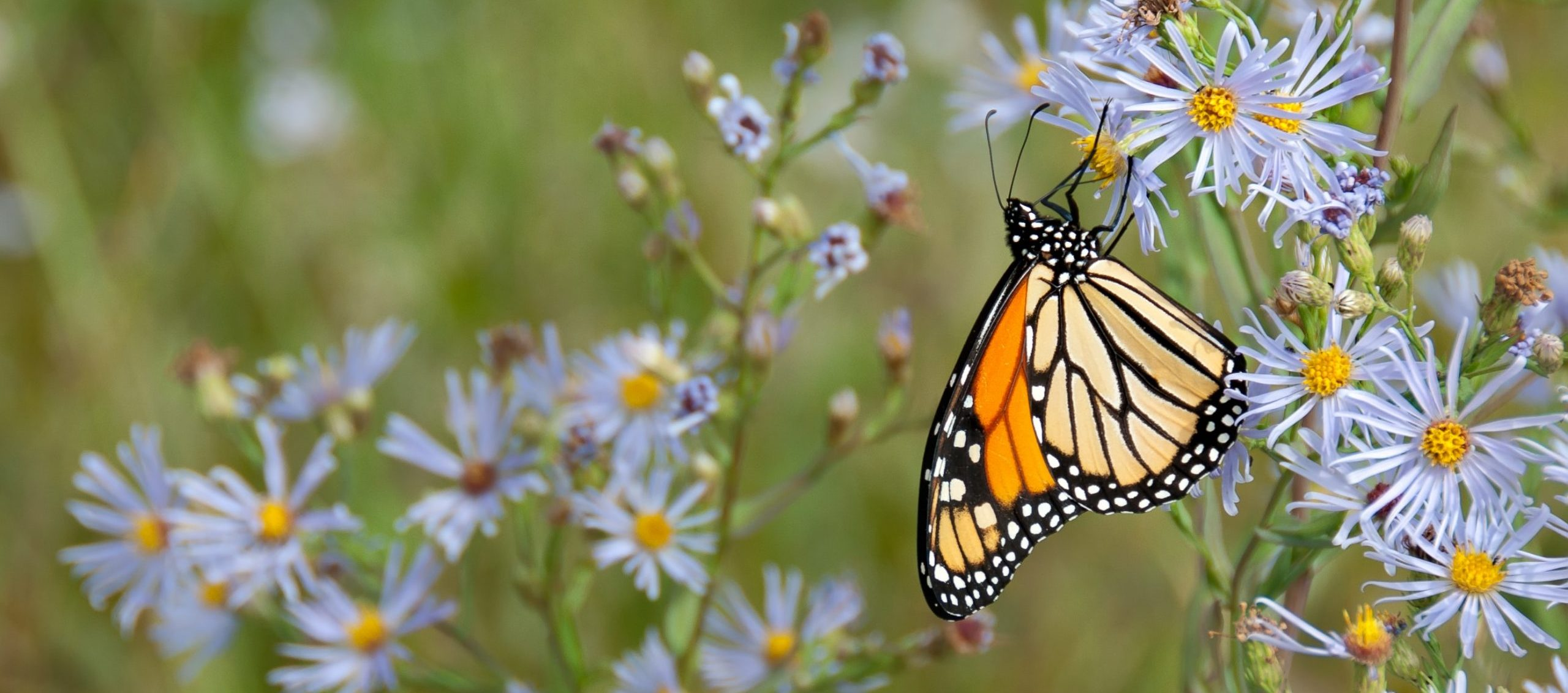 The Monarch Butterfly: On the Brink of Extinction but Denied Federal Protection